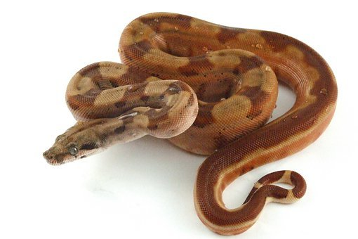 Reptile, Snake, Hypo, Boa, Constrictor, Exotic, Boid