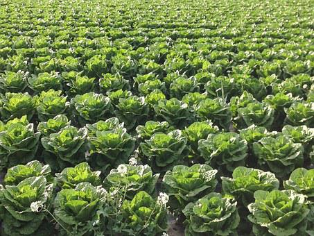 Salad, Agriculture, Field, Work In The Fields