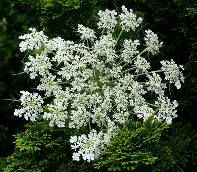 Queen Anns Lace, Floral, Plant, Natural, Blossom, Bloom