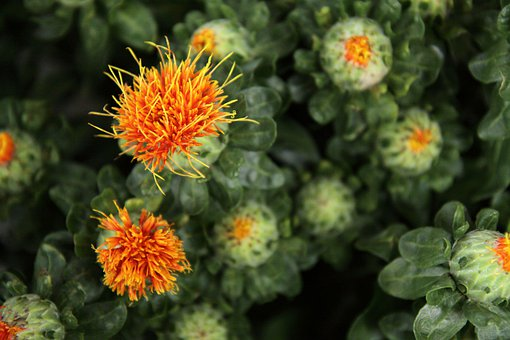 Safflower, Flower, Leaves, Green, Blossom, Bloom, Flora