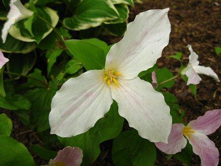 Trillium, Flower, Wakerobin, Tri Flower, Birthroot
