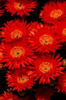 Pigface, Flowers, Bloom, Succulent, Orange, Garden