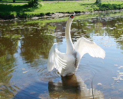 Swan, Warning Goose, Fly, Wings, Feather, Wildlife