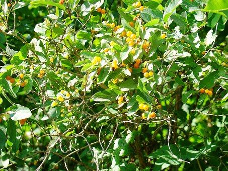 Yellow Nightshade, Nature, Bush, Foliage, Plants, Fruit