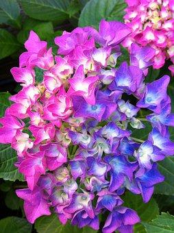 Hydrangea, Hydrangea Paniculata, Bush, Garden Plant