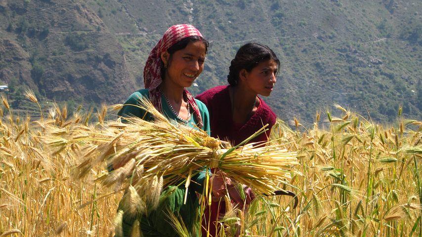 Cornfield, Field Workers, Work Field, Girl, Harvest