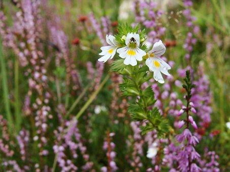 Euphrasia, Herbal, Flower