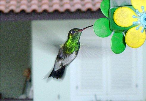 Hummingbird In The Backyard, Boraceia, Bertioga, Brazil