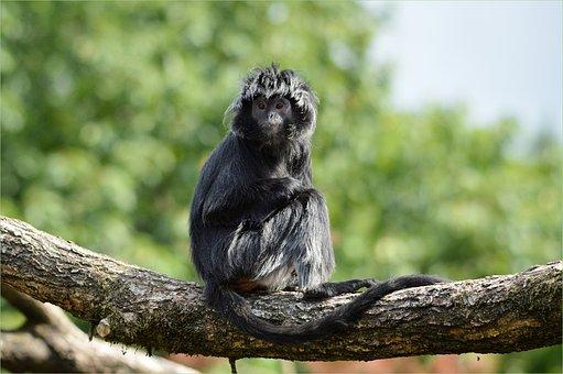 Ape, Monkey, Javanese Langur, Javan Lutung, Primate