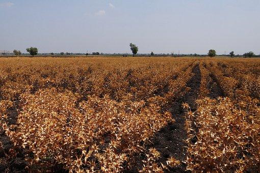 Safflower Fields, Crop, Ripe, Harvest-ready, Karnataka