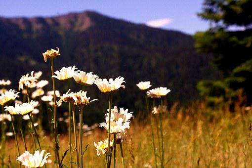 Wild Flowers, Mountain, Daisies, Landscape, Natural