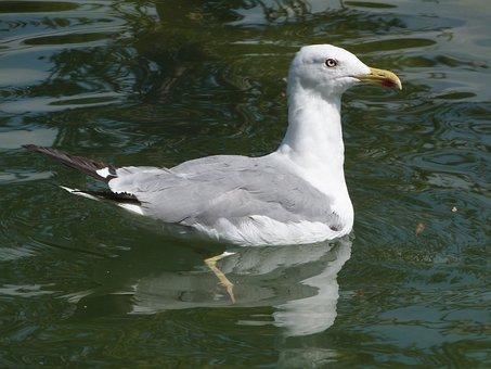 Larus Michahellis, Seagull, Yellow-legged Gull