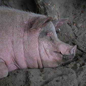 Pig, Mother Pig, Luck, Agriculture, Pink, Sow