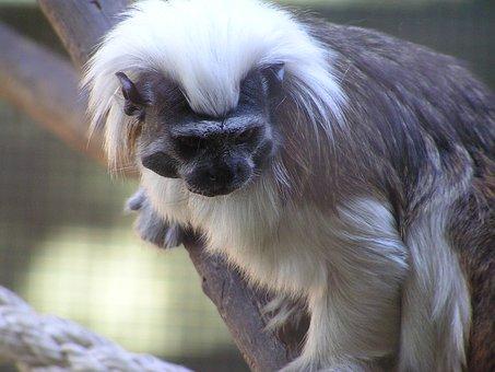 Cotton Top, Monkey, Cute, Nature, Wildlife