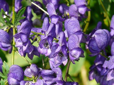 Monkshood, Aconitum Napellus, Aconite, Plant, Blue