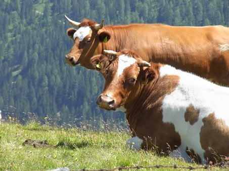 Cows, Two, Cow, Nature, Cattle, Cute, Animals, Grass