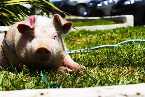 Pig, Pet, Pigg, Pink, Grass