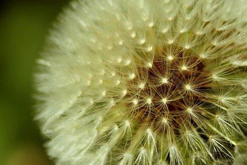 Dandelion, Spring, Meadow, Plant, Flower, Nature, White