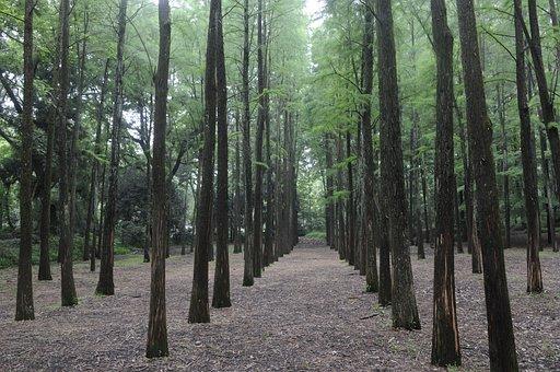 Metasequoia Forest, Natural, Plant