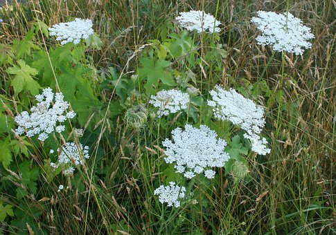 Queen Anns Lace, Floral, Plants, Natural, Blossom