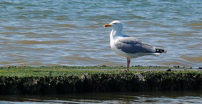 Seagull, Water Bird, Sea, Coast, Seevogel, Bird, Bill