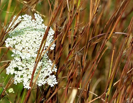 Queen Ann's Lace, Grass, Seed, Fall, Autumn, Flowers