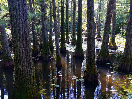 Metasequoia, Serenity, Forest