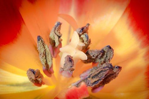 Pistil, Pollen, Tulip, Macro, Nature, Flower, Blossom