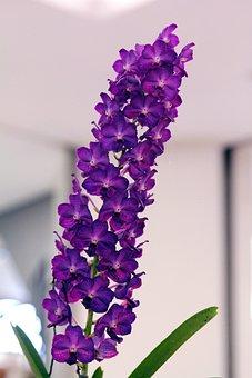 Orchid, Purple, Vanda