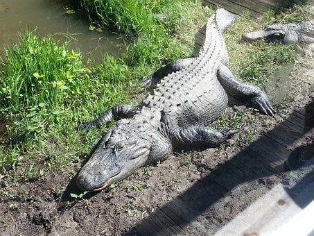 Alligator, Reptile, Wildlife, Crocodile, Predator