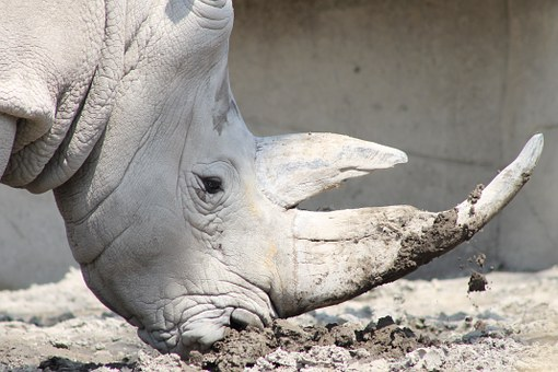 Rhino, Rhinoceros, Animal, Wild, Africa, Nature, White