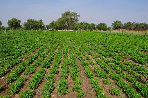 Groundnut Field, Peanut Crop, Agriculture, Oilseeds