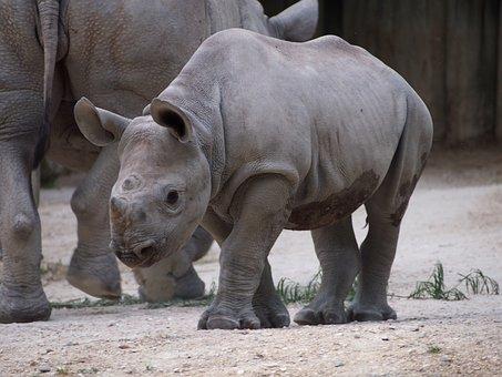 Zoo, Zurich, Animal, Rhino, Young, Horn, Mammal
