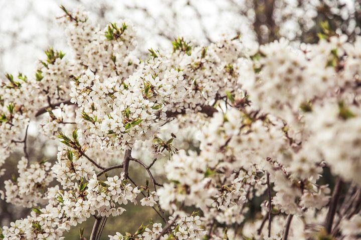 Blossom, Tree, Flower, Spring, Nature, Bloom, Branch
