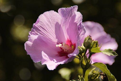 Flower, Bush, Hibiscus, Petals, Pistil, Hibiscus Flower