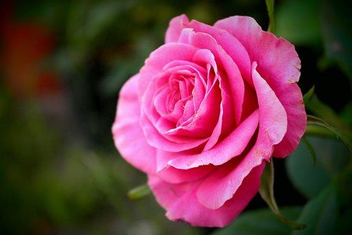 Rose, Flower, Cerise Love, Detail, Macro, Lightness
