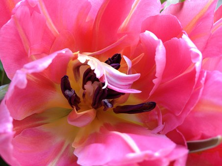 Tulip, Cerise, Flower, Spring