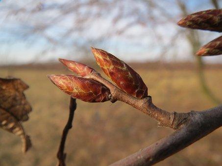 Carpinus Betulus, European Hornbeam, Common Honrbeam