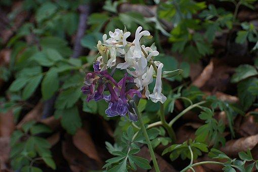 Corydalis, Hollow Corydalis, Corydalis Cava, Blossom