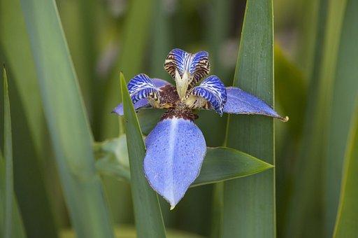 False Iris, Iris, Flower, Lily, Purple, Patterns