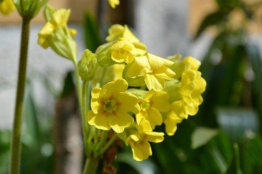False Oxlip, Flower, Primula Veris X Vulgaris, Yellow