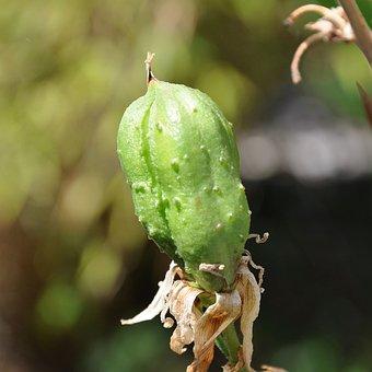 Yucca, Fruit, Handbesäubt
