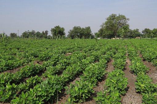 Peanut Field, Groundnut Field, India, Crop, Field