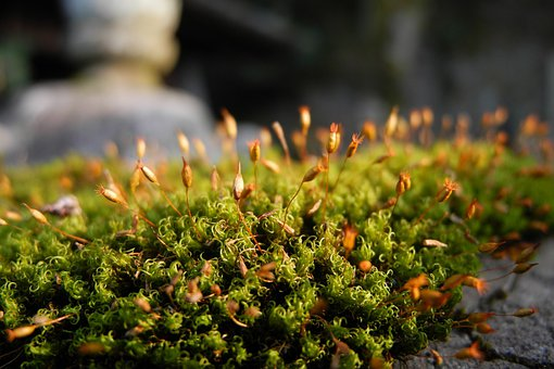 Moss, Fresh, Japan, Plant, Natural, Botanical, Organic