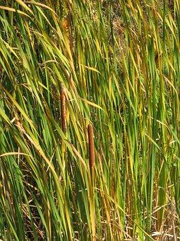Cattail, Marsh, Grass, Pond, Wetland