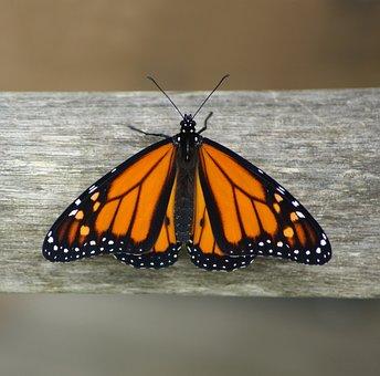 New Zealand, Monach Butterfly, Life Circle