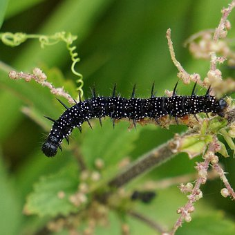 Caterpillar, Black, Thorny, Nokkosperhosen Larval