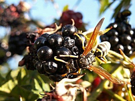 Wasp, Raspberries, Fruits, Insect, Macro, Black, Yellow
