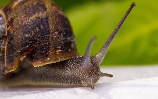 Snail, Animal, Cochlea