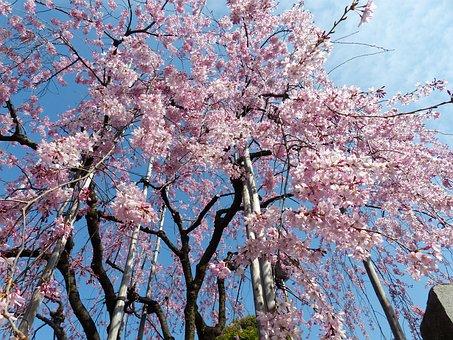 Sakura, Cheery Blossom, Sky, Spring, Tree, Pink, Nature